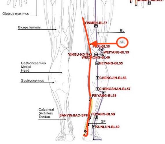 Kidney meridian back view