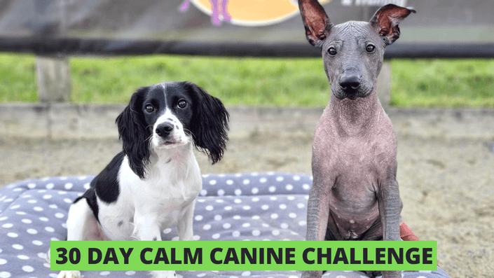 Calm Canine Challenge