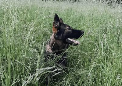 Orson - German Shepherd