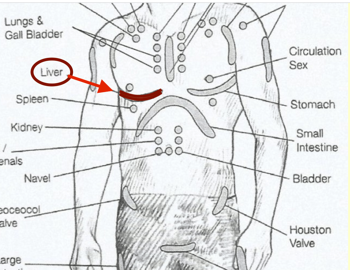liver-neurolymphatic-points
